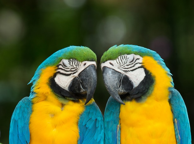 Papegaaien paar