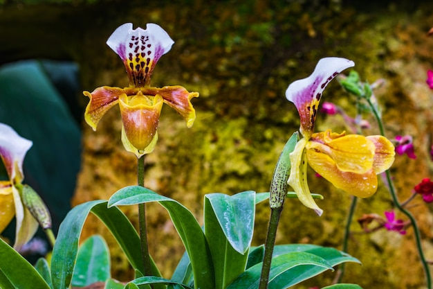 Paphiopedilum, (lady'slipper), prachtige wilde orchidee in regentijd.