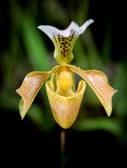 Paphiopedilum of lady's slipper orchideebloem.