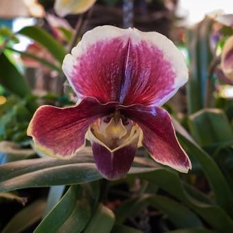 Paphiopedilum orchidee