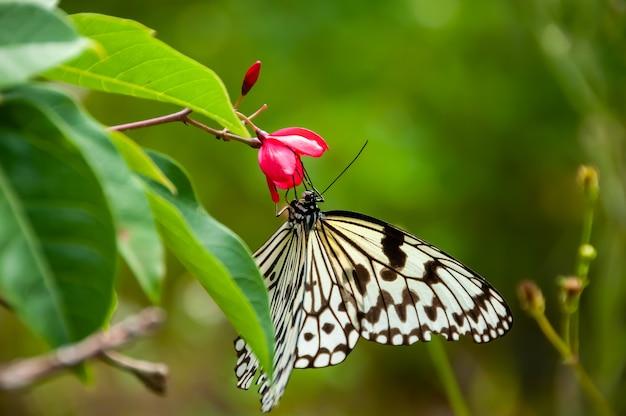 Papieren vliegervlinder die zich voedt met nectar van de rode pentas-bloem groene onscherpe achtergrond