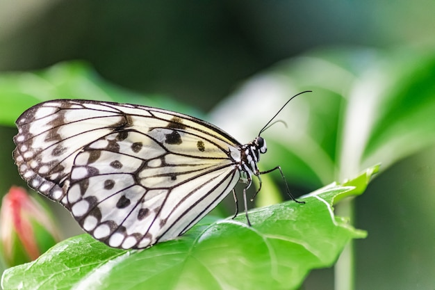 Papieren vliegervlinder, (idea leuconoe)