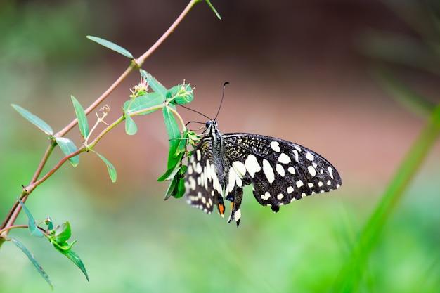 Papilio demoleus is een veel voorkomende lindevlinder en een wijdverspreid zwaluwstaartbeeld