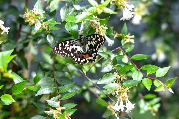 Papilio demoleus zwart-witte vlinder op een bloem