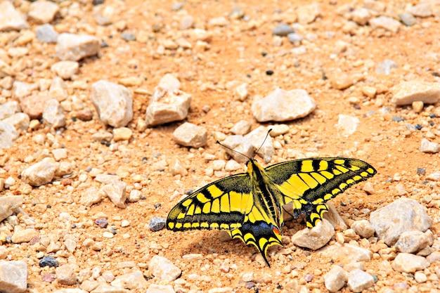 Papilio machaon vlinder op het zand