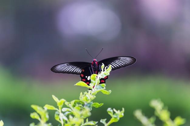 Papilio polytes ook bekend als de gewone mormoon die zich voedt met de bloemplant in het openbare park