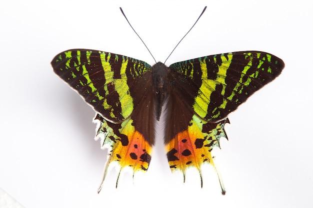 Papilio ulysses blauwe vlinder op de witte achtergrond