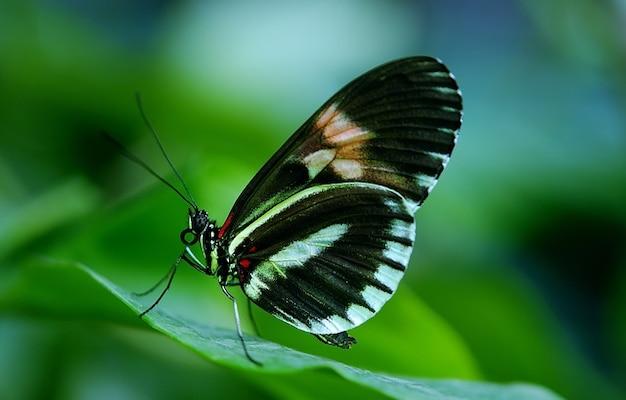 Papilio vlinder dier rumanzovia