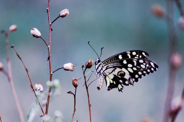 Papilio-vlinder of gewone limoenvlinder of geruite zwaluwstaart rustend op de bloemplanten