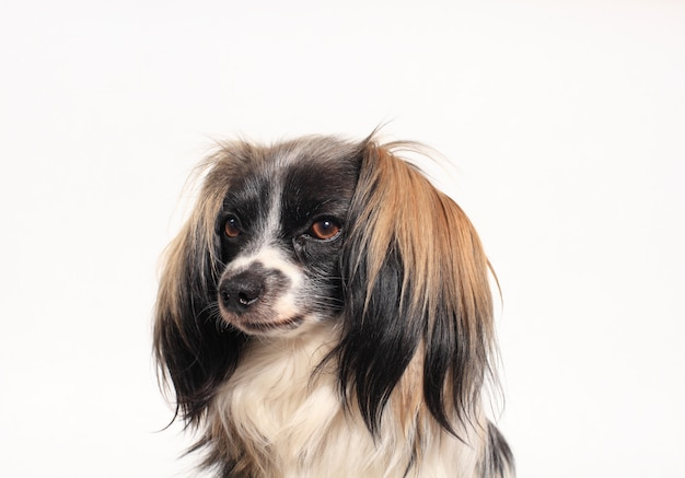 Papillon-hond close-upportret op een wit