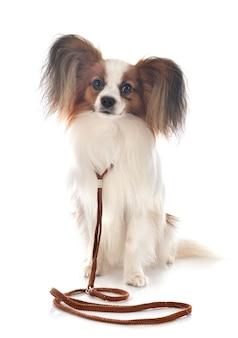 Papillon hond geïsoleerd op wit