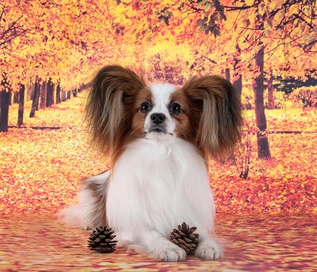 Papillon hond voor herfst achtergrond