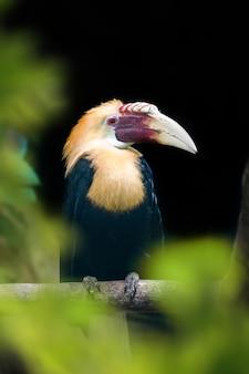 Papoea neushoornvogel, blyth's neushoornvogel (rhyticeros plicatus). prachtige jungle neushoornvogel, natuurscène van de natuur