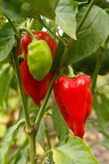 Paprika's groeien op een struik in de tuin. bulgaarse of paprikaplant. ondiepe scherptediepte
