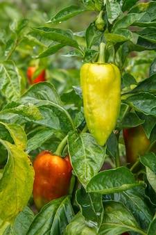 Paprika's groeien op struik in de tuin. bulgaarse of paprikaplanten. ondiepe scherptediepte