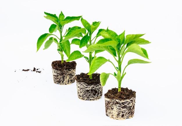 Paprikazaailing met een goed ontwikkeld wortelgestel op een witte achtergrond. wortel en stengel, bladeren van peperzaailingen.