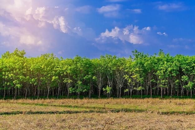 Para-rubberboom in rijstveld, latexrubberplantage en boomrubber in zuidelijk thailand
