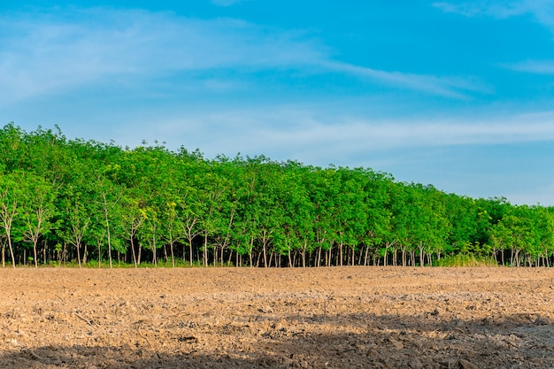 Para-rubberboom, latex-rubberplantage en boomrubber