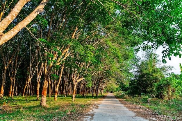 Para rubberboom, latex rubberplantage en boomrubber