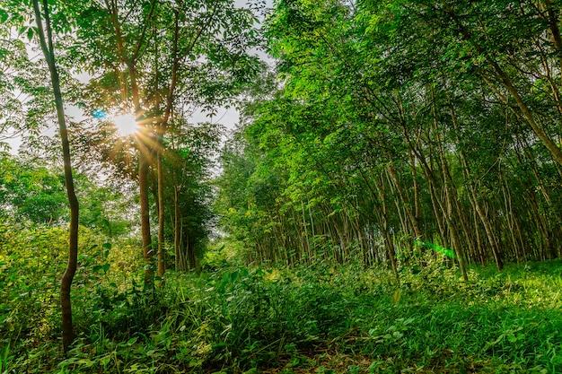 Para-rubberboom, latexrubberplantage en boomrubber