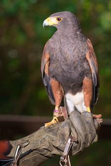 Parabuteo unicinctus - harris havik in een dierencentrum met poten op een beschermende handschoen