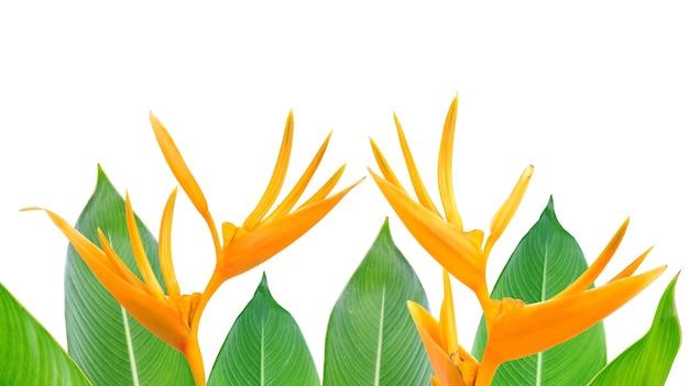 Paradijsvogel bloemen en bladeren op een witte achtergrond