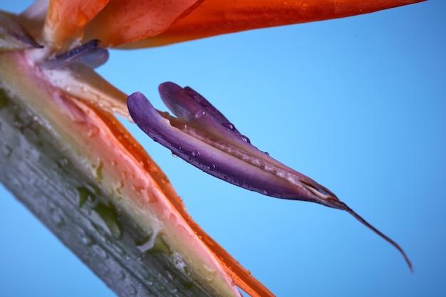 Paradijsvogel of strelitzia of kraanvogel bloem close-up
