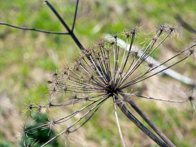 Paraplu bloem borschevik sosnovsky stierf na de winter. een giftige plant, een onkruid. gevaarlijke plant