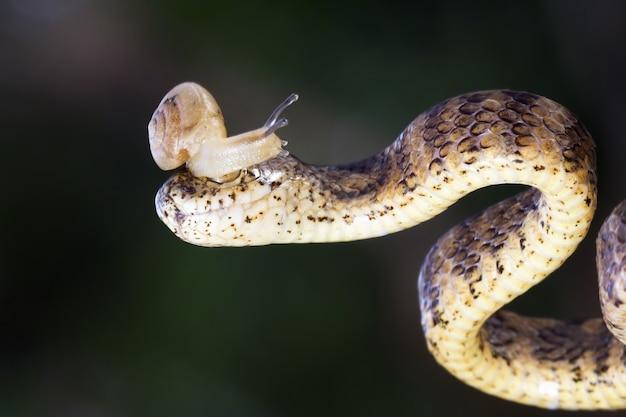 Pareas carinatus close-up