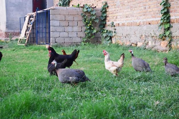 Parelhoen en kippen