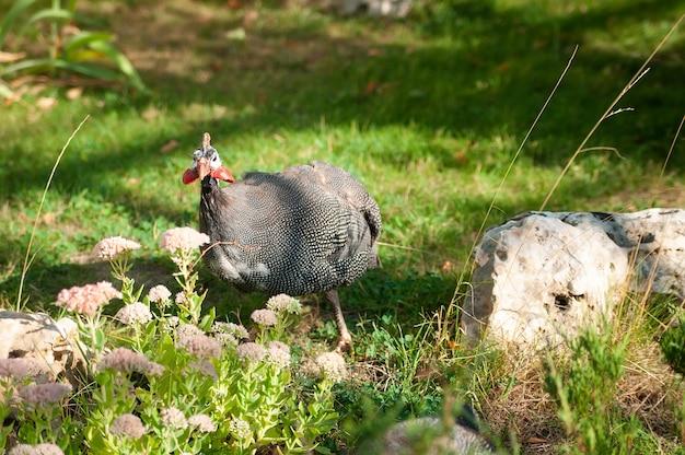 Parelhoen-kip op het gras