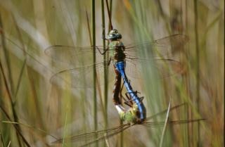 Paring libellen, macro