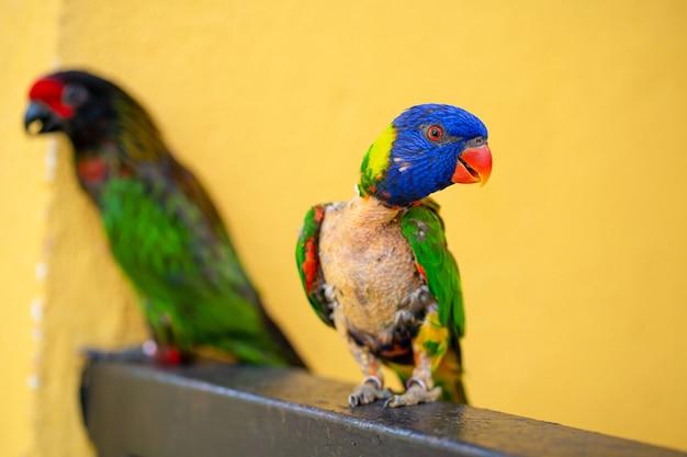 Paringspellen rainbow lorikeet. een verbleekte papegaai kleeft aan een vrouwtje