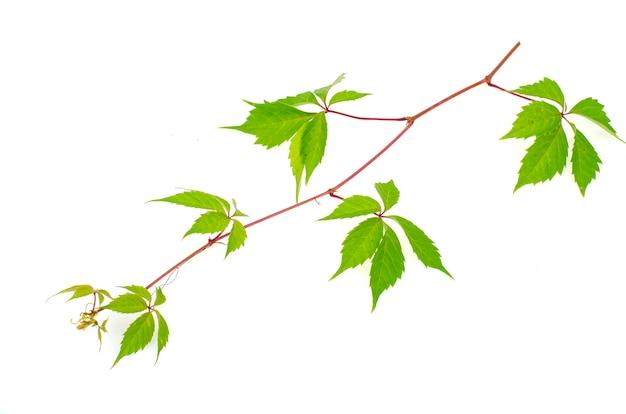 Parthenocissus tak met groene geïsoleerde bladeren.