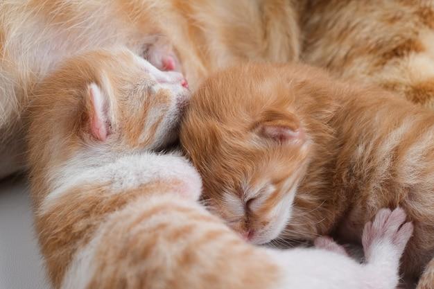 Pasgeboren baby kittens drinken melk van de borst van hun moeder tegen een witte achtergrond