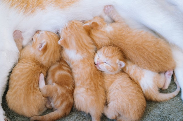 Pasgeboren baby rode kat drinkt hun moeders melk kat voeding kleine schattige gember kitten huisdier slaap en gezellige dutje tijd comfortabele huisdieren slapen gezellig thuis