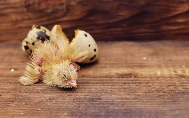 Pasgeboren babyvogel of kwartelkuiken komt uit