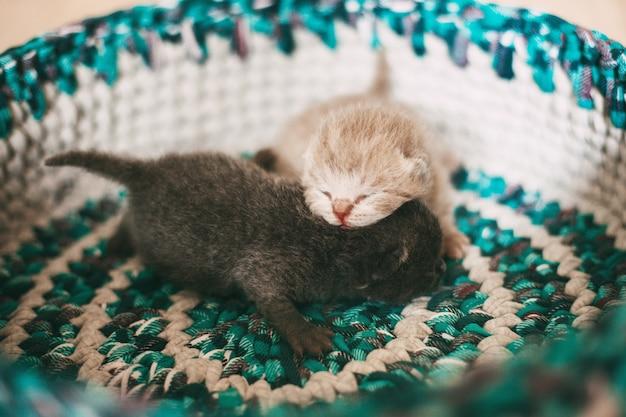 Pasgeboren britse katjes die in een mand slapen