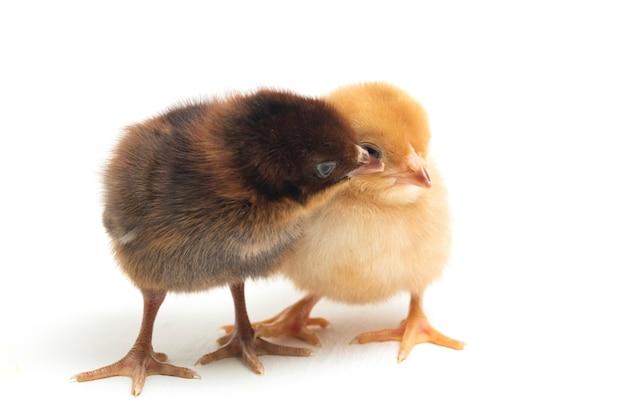 Pasgeboren gele en bruine kuikens op wit