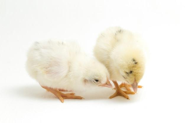 Pasgeboren gele kuikens op wit