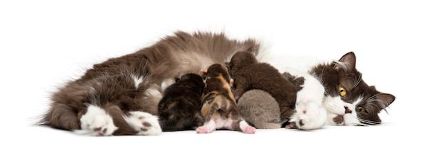 Pasgeboren highland straight of fold kitten liggend, 1 week oud, geïsoleerd