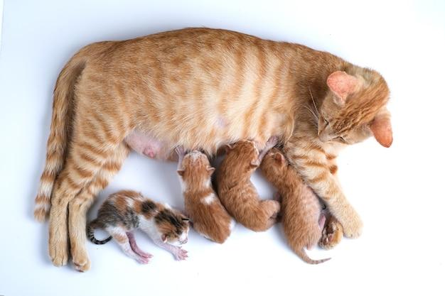Pasgeboren kittens drinken moedermelk tegen een witte achtergrond