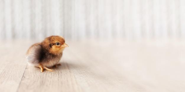Pasgeboren pluizige jonge kip