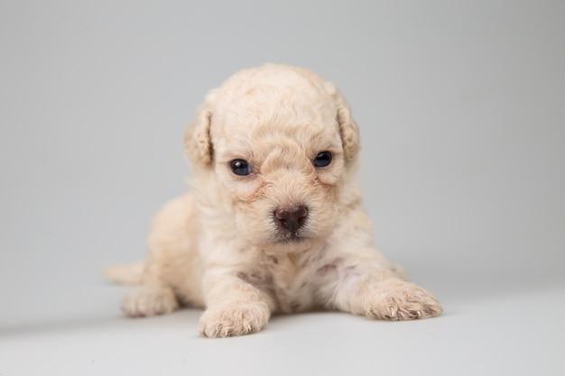 Pasgeboren puppy geïsoleerd op grijze achtergrond