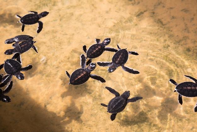 Pasgeboren schildpadden in water, zeeschildpadden sri lanka. zeeschildpad baby, indische oceaan ceylon