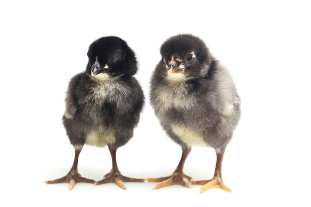 Pasgeboren zwarte kuikens op wit