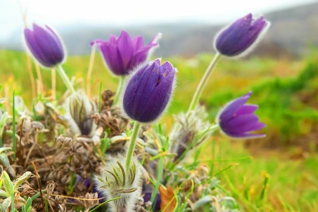 Pasqueflowers (pulsatilla patens) op het veld met gras