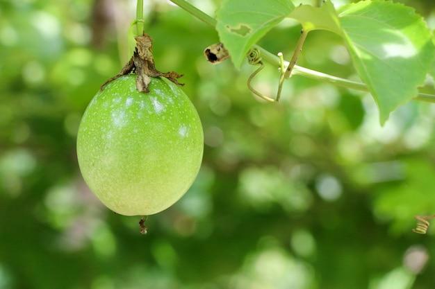 Passievruchtboerderij, veel rauwe en verse passievrucht aan de boom