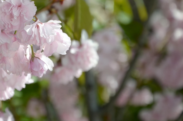 Pastelkleur roze kersensakura in japan in tot bloei komend seizoen