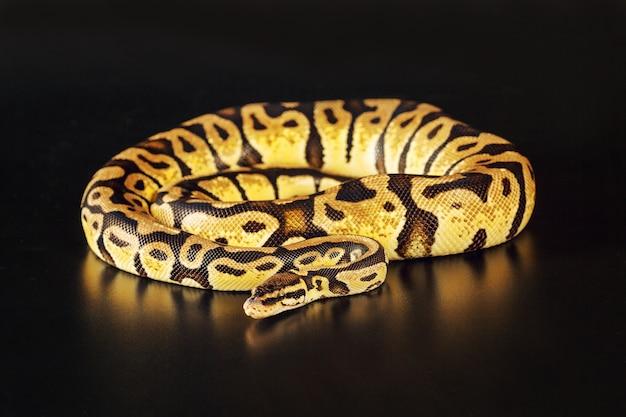 Pastelkleuren koninklijke python
